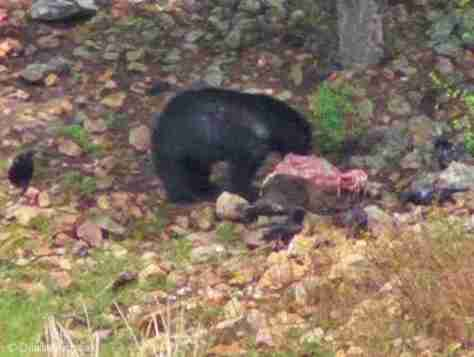 BLACK BEAR ON AN ELK KILL