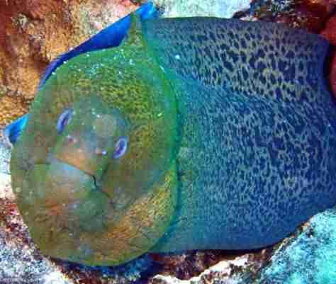 Green moray (1280x1082)