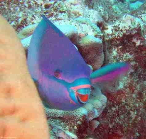 Parrotfish (1280x1224)