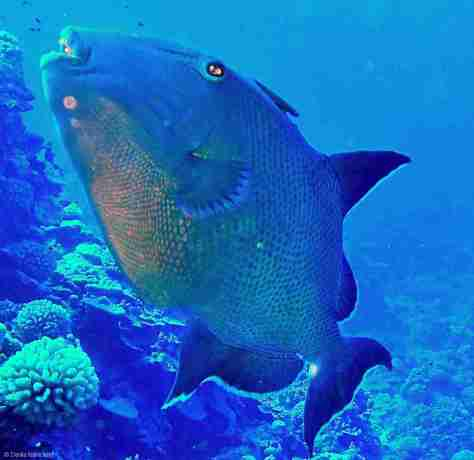Tommy the Triggerfish