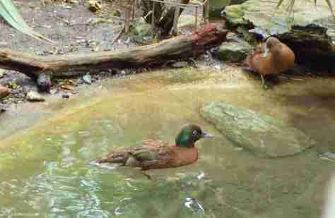 ENDANGERED CAMPBELL ISLAND TEAL. FLIGHTLESS, ROCK-CLIMBING DUCK