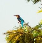 white throated kingfisher at Raj Ghat, Delhi