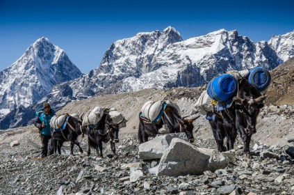 Everest-Expeditions-Yak-Train
