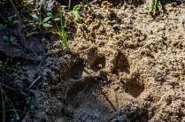 Tigerspuren im Sand