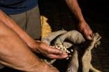 Parchment fertig zum Verkauf an die regionale Kooperative