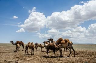 Baktrische Kamele mit lustiger Frisur