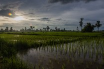 Reisfelder in Romains Vorgarten