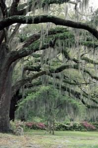 new orleans oak tree