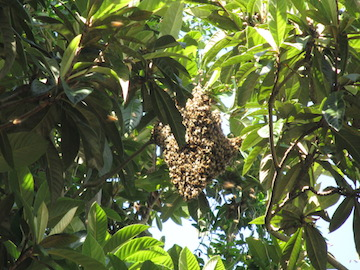 A swarm of bees in our Japanese plum tree in New Orleans