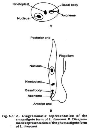 Leishmania Donovani (With Diagram)| Zoology
