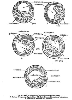 Segmentation in Animals (With Diagram) | Zoology