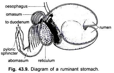 Digestive System Of Vertebrates With Diagram