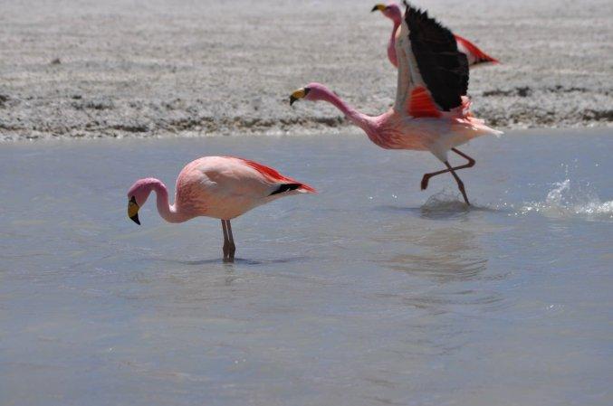 Bolivia Flamingo landing