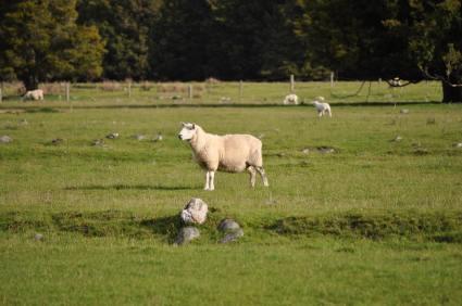 Sheep at Lake Matheson