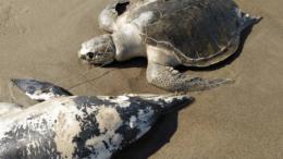 delfin y tortuga muertos