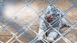 tigres-bengala