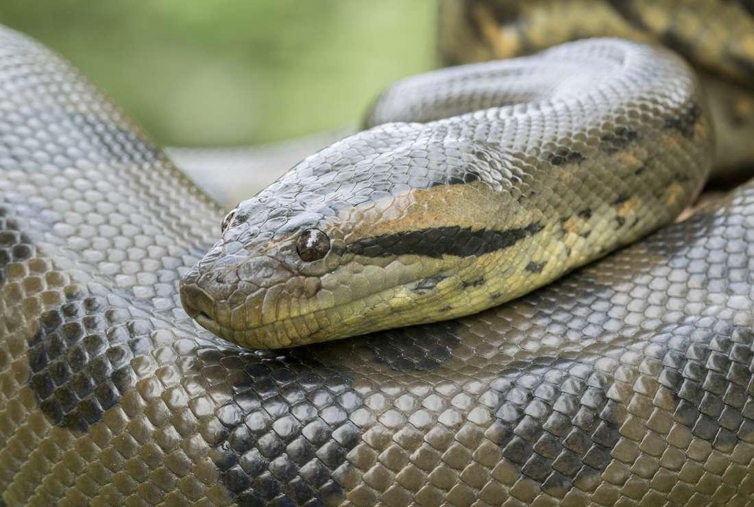 La gigantesca Anaconda que cazaron en el estado Bolívar (Imágenes)