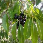 Os benefícios do poderoso chá das folhas de Jamelão