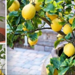 Como cultivar um limoeiro em sua própria casa a partir das sementes