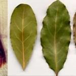 Coloque algumas folhas desta planta em todos os cantos da sua casa e nunca mais terá baratas