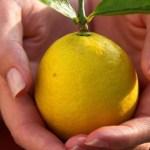 Só um limão por dia é suficiente para eliminar completamente a dor persistente nas articulações. Veja como fazer