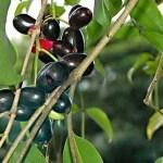 Cientistas comprovam o grande poder desta fruta: ela é capaz de destruir 90% das células de câncer!