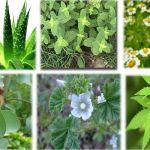 Plantas medicinais que vão fazer você perder peso durante a noite