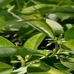 Uma planta para purificar e limpar a pele, útil para tratar problemas como: dermatite, prurigo, eczema, psoríase. Também é útil para eliminar ácido úrico, cálculos renais. Saiba Mais!