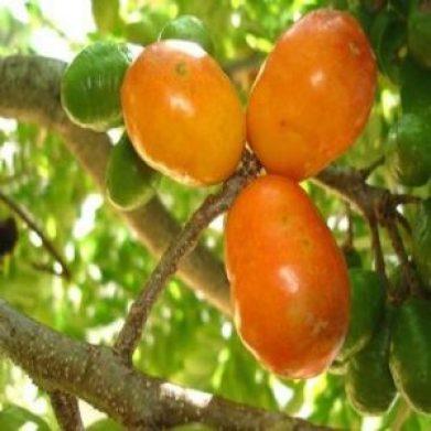 13464-Cajá-Uma-Fruta-Exótica-1-600x600