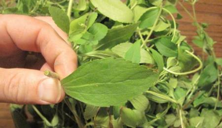 want-to-quit-smoking-this-herb-destroys-the-desire-for-nicotine-and-how-to-grow-it