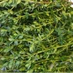 A erva mais poderosa que destrói dor de estômago, diarréia, artrite, dor de garganta, vírus da gripe …