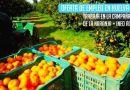 Trabaja en la campaña de la recogida de la naranja en Huelva