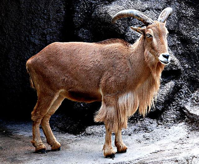 Animales en peligro de extinción: Arruí