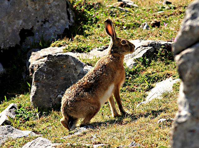 Animales en peligro de extinción: Liebre de Piornal