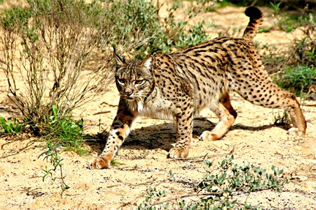 Animales en peligro de extinción: Lince Ibérico