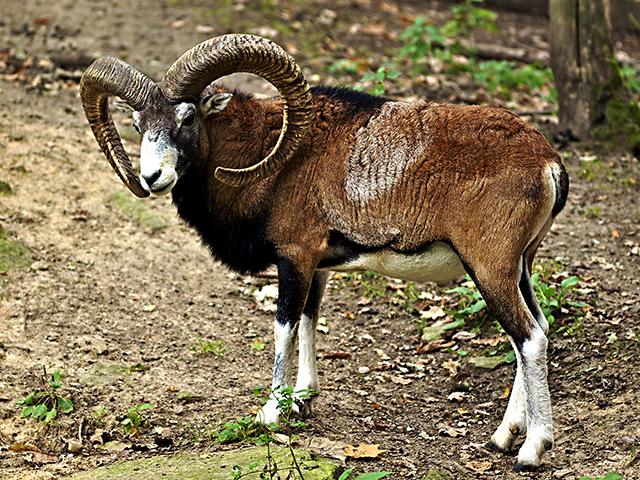 Animales en peligro de extinción: Muflón Europeo