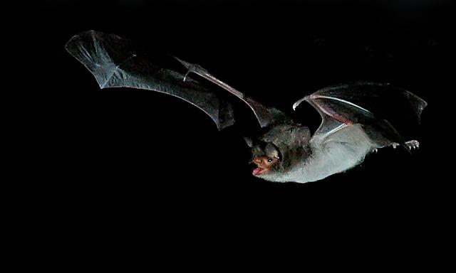Animales en peligro de extinción: Murciélago Ratonero Patudo