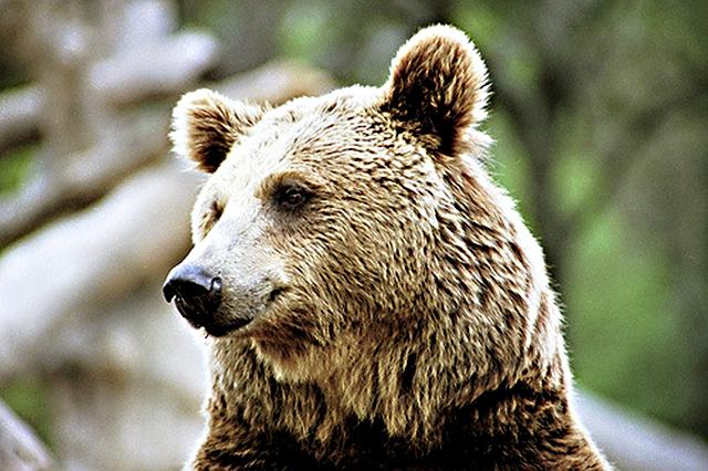 Animales en peligro de extinción: Oso Pardo Cantábrico