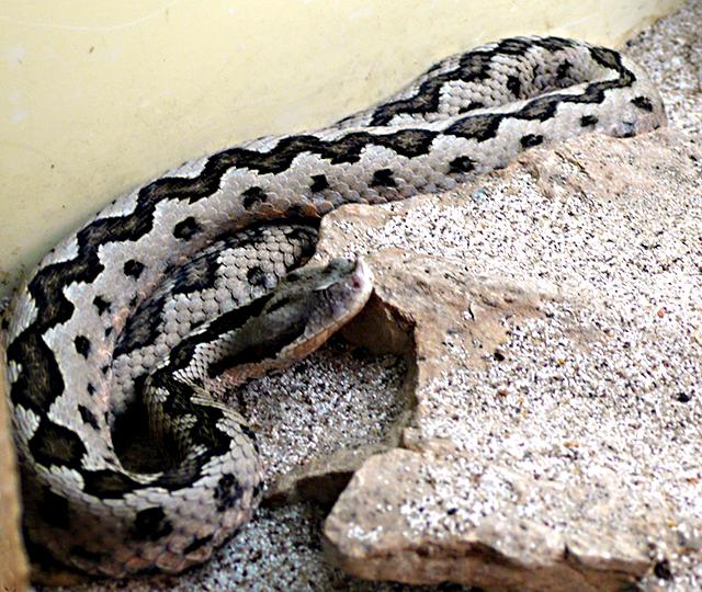 Animales en peligro de extinción: Víbora Hocicuda