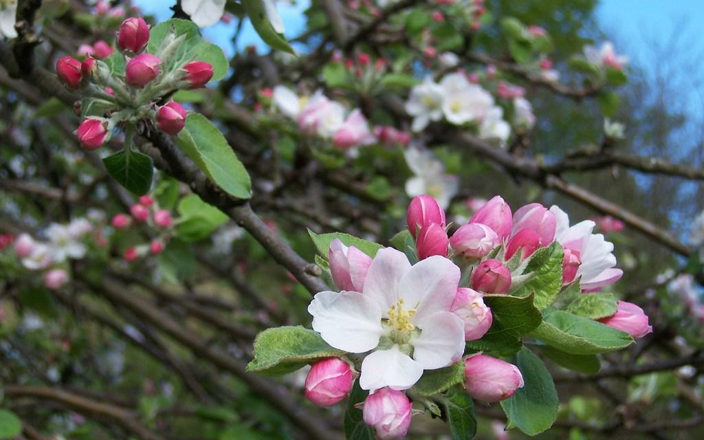 Floración del manzano en la Comarca de la Sidra