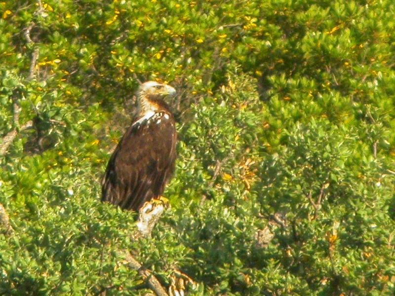 Águila Imperial Ibérica recogida en Muel