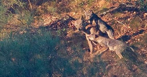 La recuperación del Lobo Ibérico