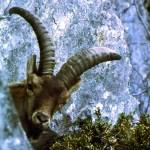 Bucardo, o el último animal extinguido en el siglo XX
