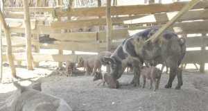gobierno-toma-medidas-para-proteger-produccion-nacional-de-cerdos-ante-pequeno-brote-de-fiebre-porcina-africana