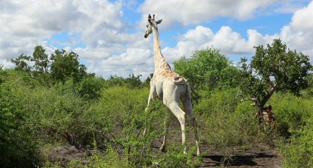 La última jirafa blanca del mundo estará controlada por GPS - Noticieros Televisa
