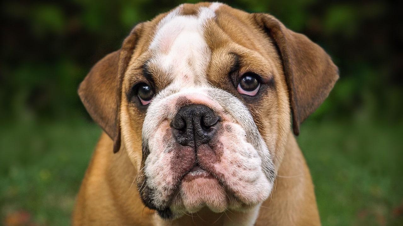 Un cachorro de bulldog puede ser muy dominante