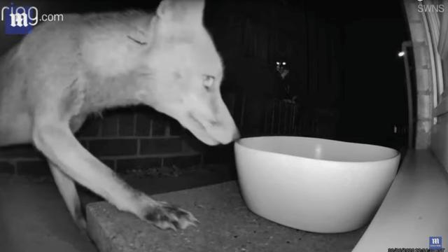 Valiente gato asusta a zorro tres veces más grande que él