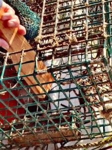 killing European green crab lobster trap