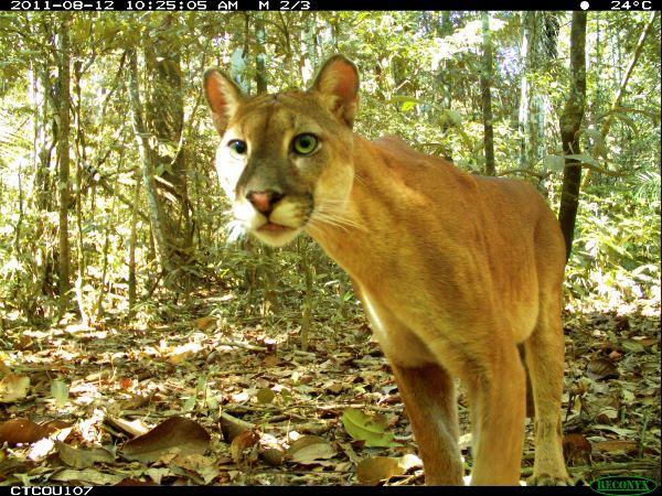 National Geographic registra fauna del Parque Nacional del Manu con 131 cámaras