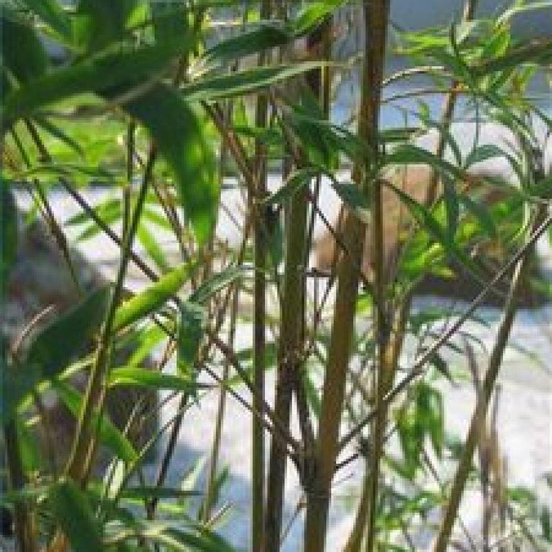 Come Fermare La Diffusione Del Bambù Notizieit